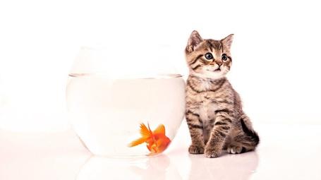 Фото Кошка сидит возле аквариума с рыбкой (© Black Tide), добавлено: 28.11.2012 00:37