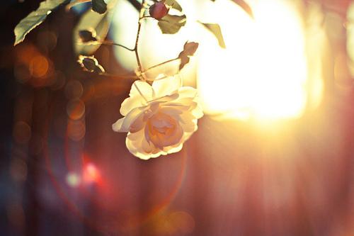 Фото Чайная роза, освещенная лучами солнца