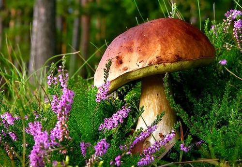 Фото Белый гриб в траве