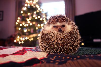 Фото Ежик свернулся комочком на фоне новогодней елки