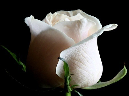 Фото Белая роза на черном фоне