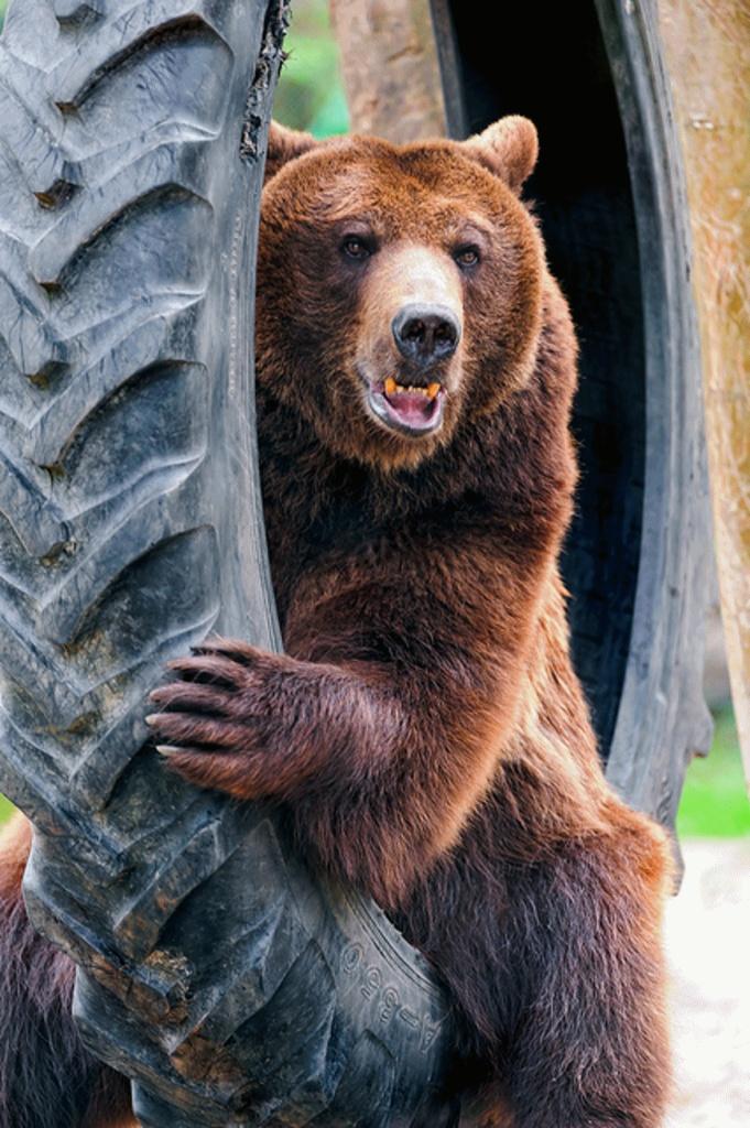 его фото довольного медведя пока