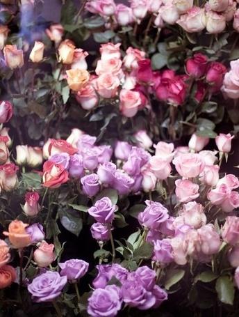 Фото Розы разных цветов (© ), добавлено: 05.12.2012 00:25