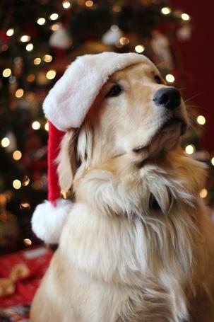 Фото Собака породы золотистый ретривер в новогодней шапке сиди на фоне украшенной елки