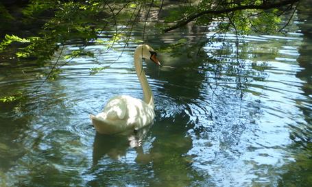 Фото Белый лебедь плавает в небольшом пруду