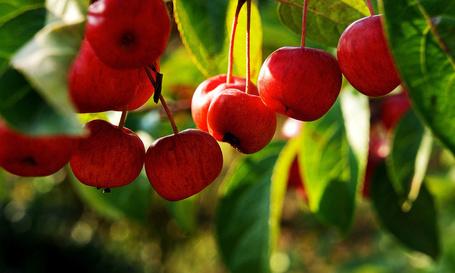 Фото Дикие яблочки на фоне зеленых листьев (© Felikc), добавлено: 11.12.2012 07:37