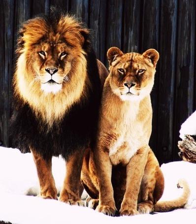 Фото Лев и львица смотрят вдаль, сидя на снегу