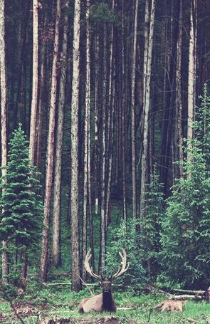 Фото Олень лежит на фоне высоких деревьев