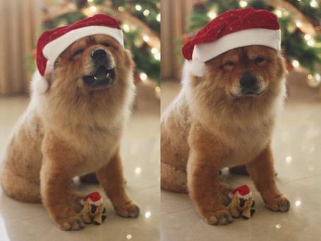 Фото Собака породы чау-чау в новогодней шапке