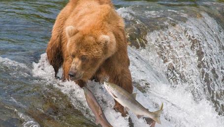 Фото Медведь-гризли ловит себе рыбу на быстрой реке в период нереста
