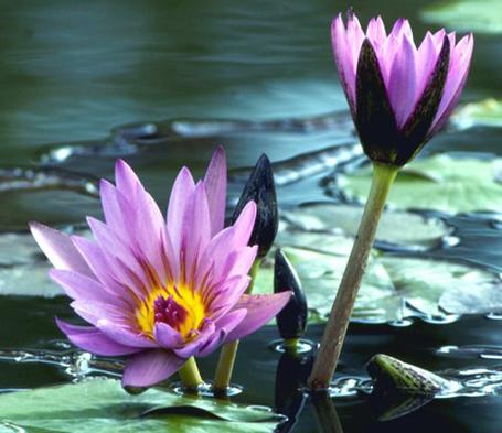 Фото Сиреневые лилии в воде (© Banditka), добавлено: 26.12.2012 15:31