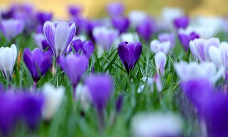 Фото Нежные весенние крокусы сиреневого цвета  (© Felikc), добавлено: 26.12.2012 15:50