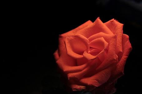 Фото Алая роза на  черном фоне