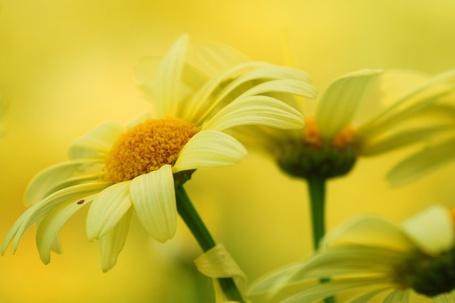 Фото Ромашки на желтом фоне (© ), добавлено: 27.12.2012 20:16