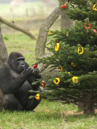 Фото Обезьянка сидит у елки, украшенной кольцами перца