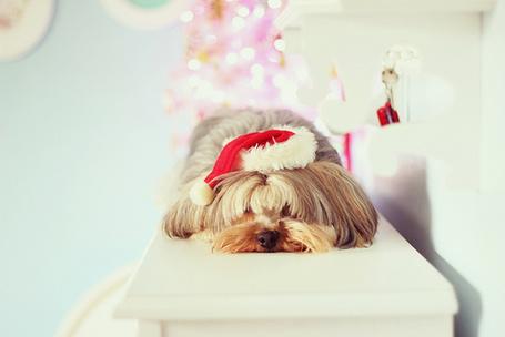Фото Лохматая собака в новогодней шапочке лежит на столе