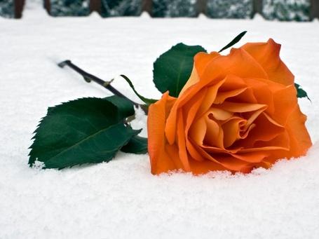 Фото Чайная роза с зелеными листочками на снегу