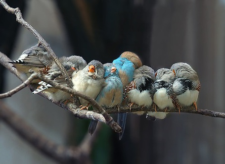 Фото Птички тесно прижавшись друг к другу сидят на ветку (© Black Tide), добавлено: 29.12.2012 23:47