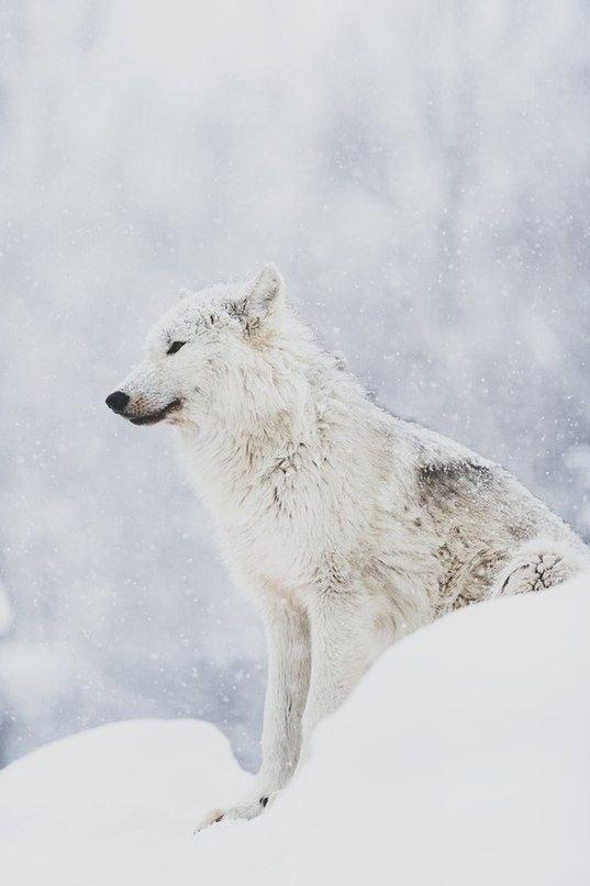 одно что картинки белого волка на снегу другие модели сверл