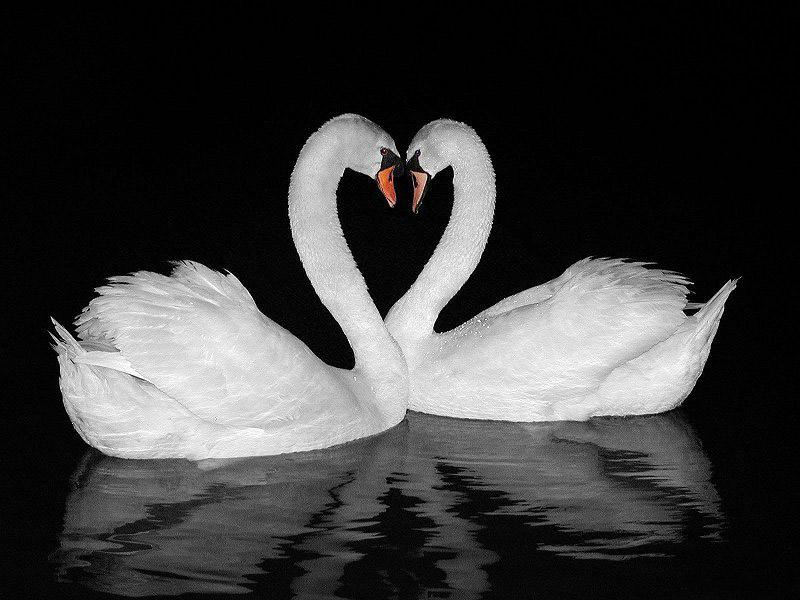 Два лебедя картинки с надписями