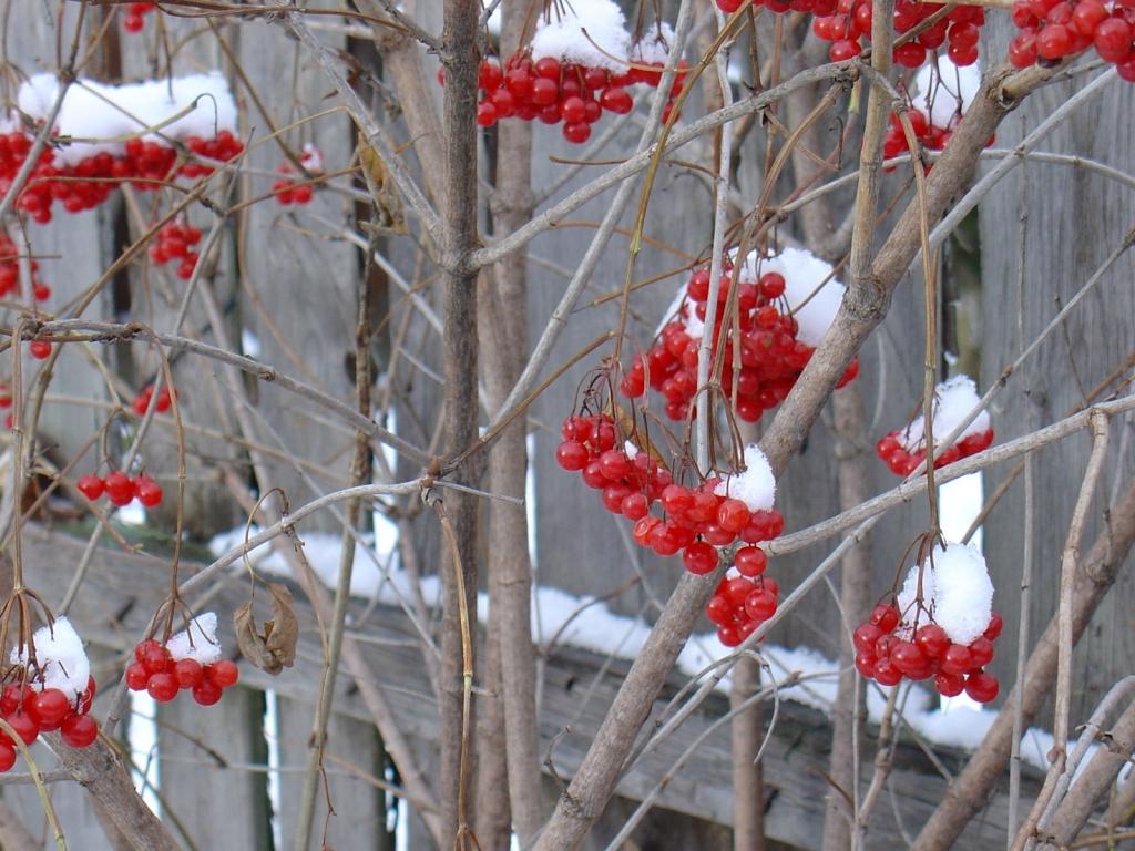Фото Красная смородина, растущая в огороде возле деревянного забора в снегу
