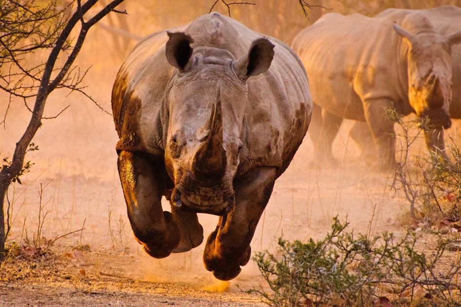 Фото Бегущие носороги: photo.99px.ru/photos/84468