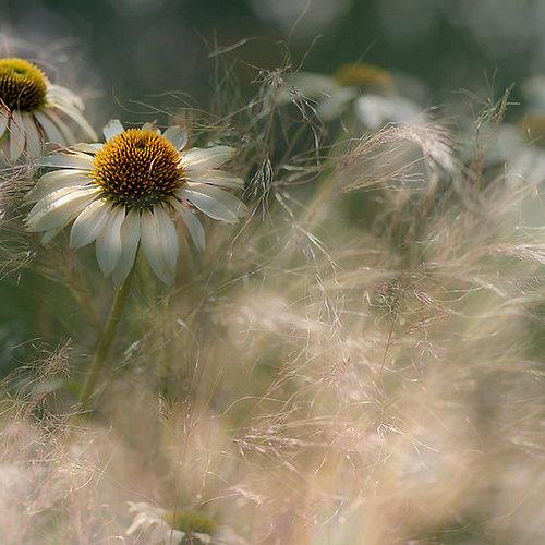 Фото Ромашки среди травы