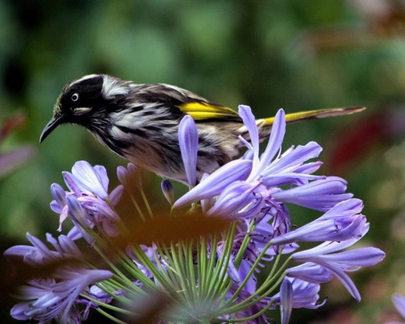 Фото Птичка на фиолетовом цветке (© ), добавлено: 02.01.2013 22:24