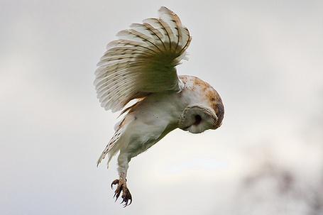 Летящая сова пошаговое - c