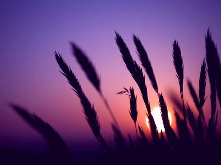 Фото Колосья пшеницы на фоне фиолетового неба с заходящим солнцем (© Felikc), добавлено: 06.01.2013 11:30