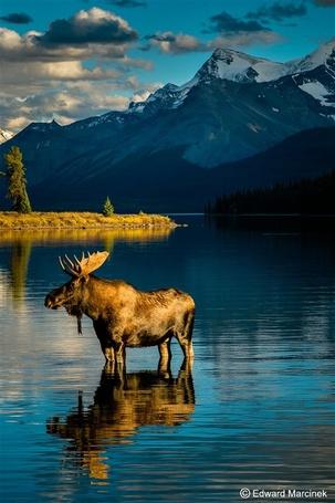 Фото Лось стоит в воде на фоне горного пейзажа, работа фотографа Эдварда Mарцинека / Edward Marcinek
