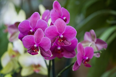 Фото Розовые орхидеи