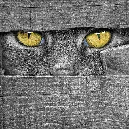 Фото Серый желтоглазый кот смотрит сквозь серый забор