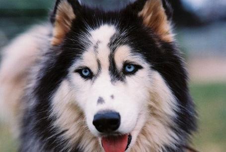 Фото Собака-хаски с голубыми глазами
