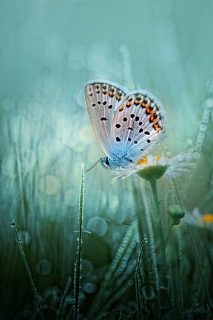 Фото Синяя бабочка возле ромашки и травинок, покрытых водой, фотограф Wil Mijer