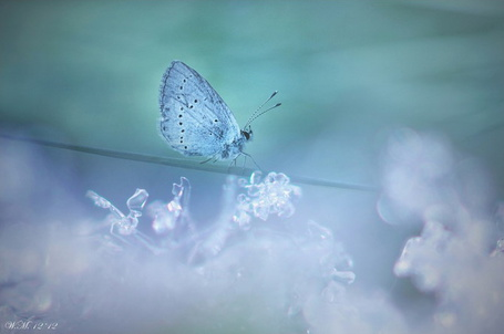 Фото Голубая бабочка на стебельке, под которым множество снежинок, фотограф Wil Mijer