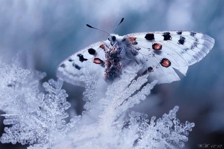 Фото Белая бабочка сидит на ветке, рядом с которой огромные снежинки, фотограф Wil Mijer