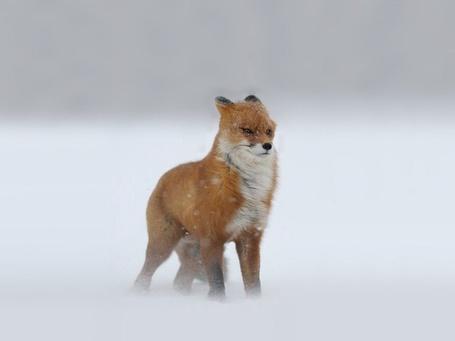 Фото Лисица во время снежной бури, Россия / Russia