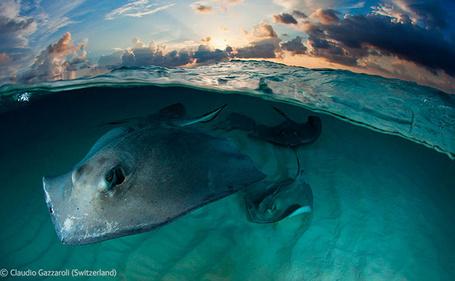 Фото Скат на острове Большой Кайман / Cayman Islands, фотограф Claudio Gazzaroli (Switzerland) / Клаудио Газзароли (Швейцария)