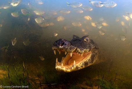 Фото Маленький тираннозавр - кайман в Пантанале / Pantanal - обширной заболоченной тектонической впадине в Бразилии / Brasil, фотограф Luciano Candisani (Brasil) / Лусиано Кандисани (Бразилия) (© Banditka), добавлено: 20.01.2013 13:29