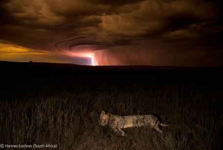 Фото Спящий лев и молнии в пустыне Калахари / Kalahari, Южная Африка / South Africa, фотограф Hannes Lochner (South Africa) / Ханнес Лохнер (Южная Африка)