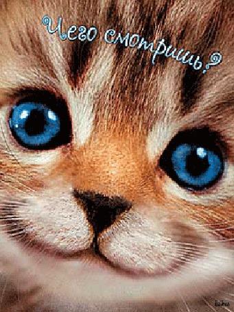 Фото Котёнок моргает голубыми глазками (Чего смотришь?)