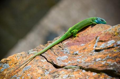 Фото Зелёная ящерица сидит на камне (© Banditka), добавлено: 22.01.2013 20:14