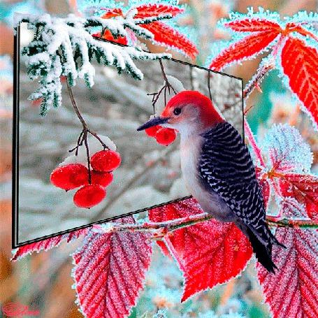 Фото Птичка, сидящая на заснеженной ветке дерева, пытается взять клювом ягоды рябины, находящиеся на фоне зеркального щита