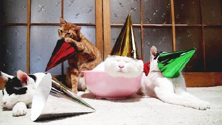 Фото Коты в праздничных конусах, один пытается его снять (© StepUp), добавлено: 25.01.2013 10:59
