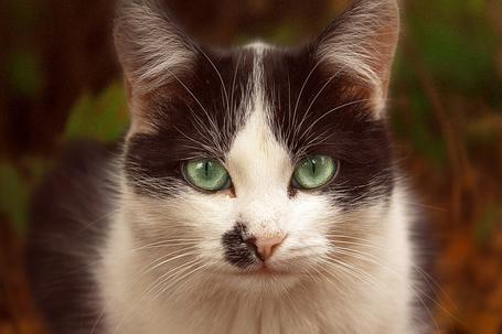 Фото Кошка с красивыми зелеными глазами (© Юки-тян), добавлено: 25.01.2013 23:46