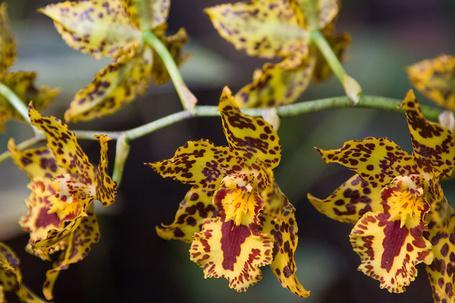 Фото Жёлто-бардовая орхидея (© Banditka), добавлено: 27.01.2013 12:45