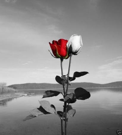 Фото Белая и красная розы на фоне пейзажа в черно-белом тоне