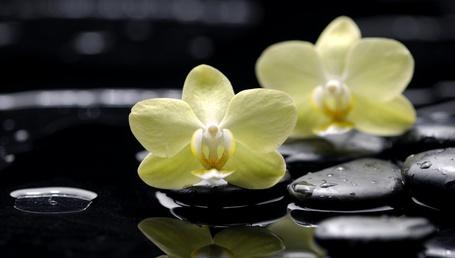 Фото Желтые орхидеи, лежащие на черных массажных камнях в капельках воды (© Felikc), добавлено: 29.01.2013 11:46
