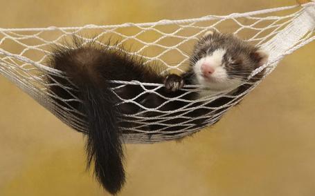 Фото Хорек спит в гамаке